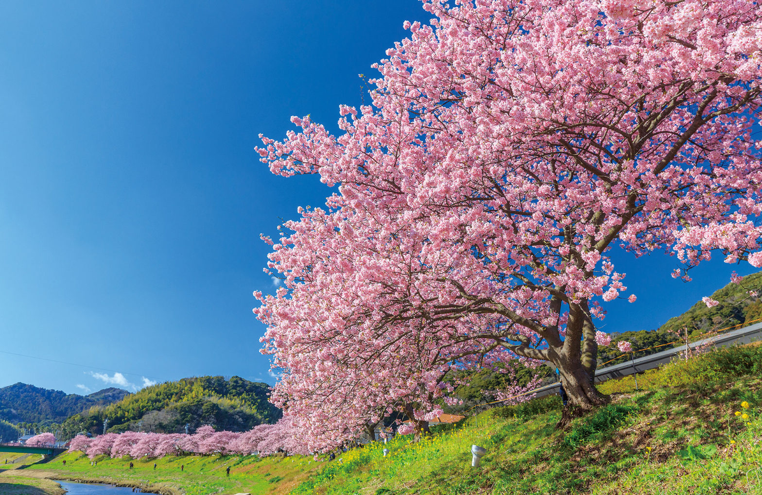 Southern Cherry Blossoms and Rape Blossoms